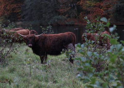 cattle-1082288_1920