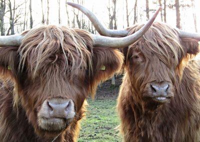 highland-cow-2068736_1920